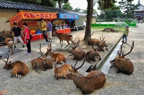 奈良の鹿4.jpg