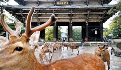 奈良の鹿5.jpg