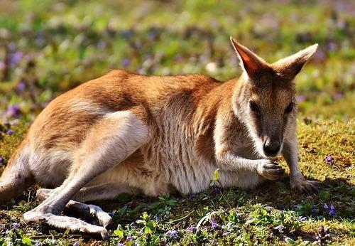 kangaroo-2223331_640.jpg